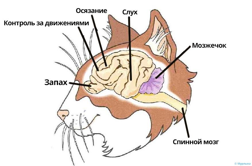 как устроен кошачий мозг фото