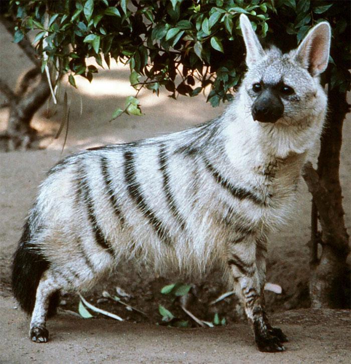 Обычно их «габариты» соизмеримы с весом и размерами обычной лисы!