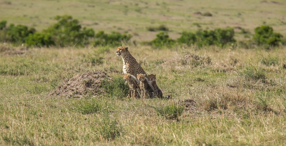 Жизнь гепардов в объективе (25 фото)