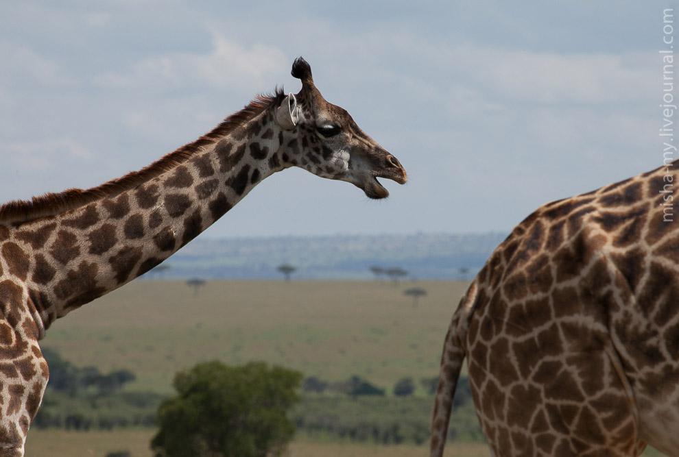 31. Пара гепардов, судя по пытливому взгляду, ищут чем пообедать. В отличие от других кошачьих, гепа