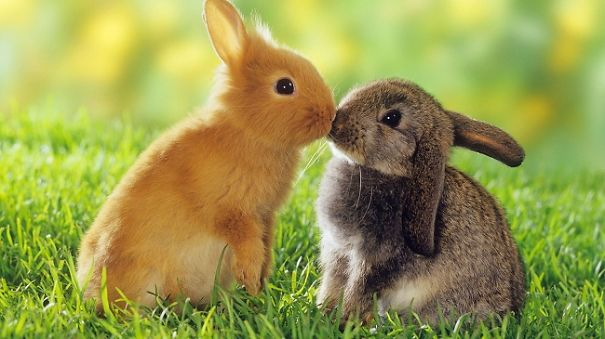 two dwarf rabbits — smooching restrictions:Tierratgeber-Bücher / animal guidebooks, puzzl