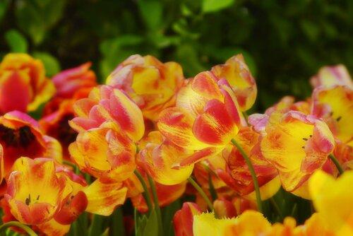 Милые тюльпаны