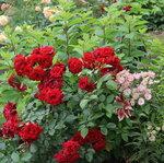 IMG_5735 роза флорибунда Ротер Драхе (Roter Drache)  Kordes,  2012