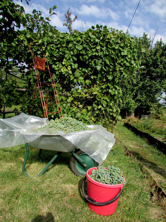 сбор винограда.jpg