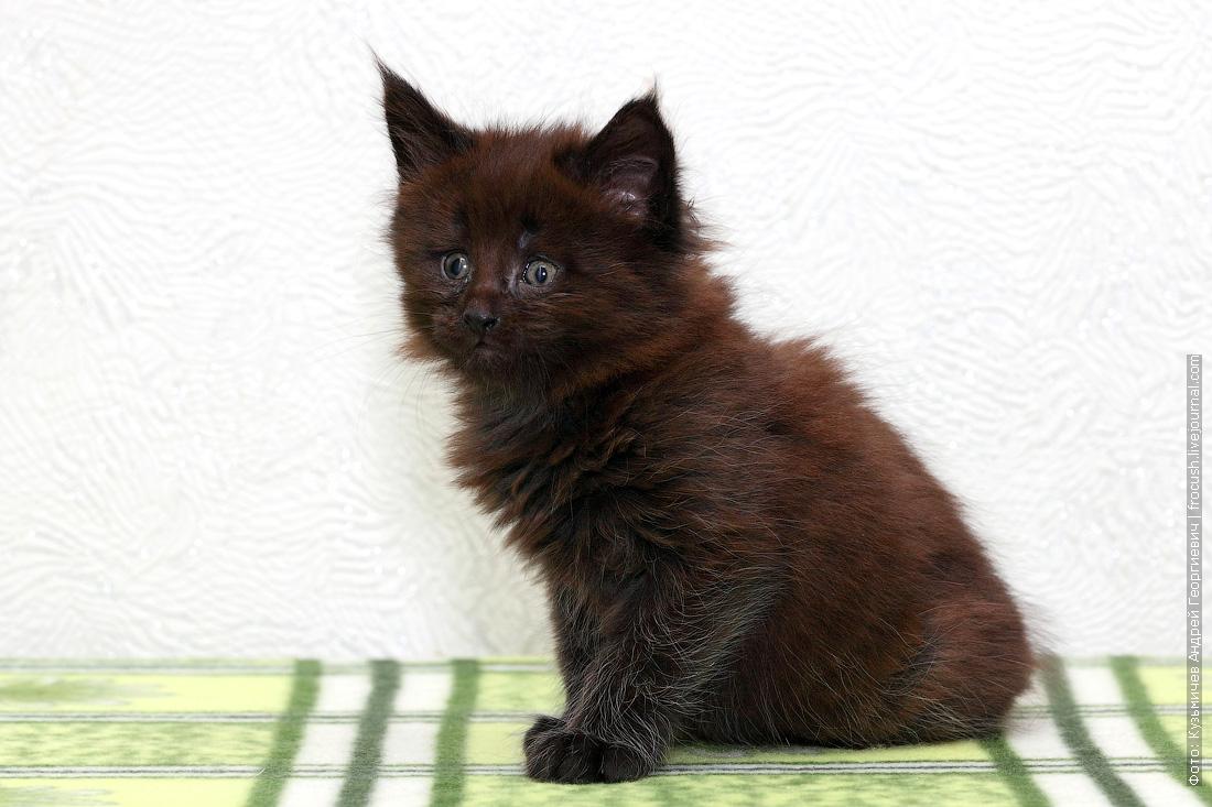 купить котенок Мейн-кун в Москве