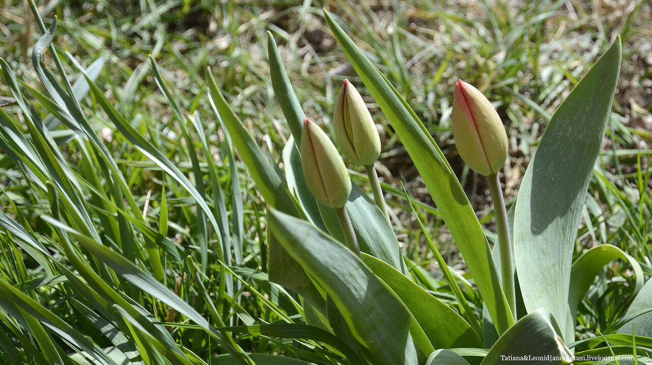 Первая весенняя зелень. Тюльпаны