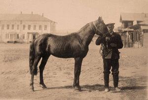 Жеребец Герой рыжий (2 года 3 месяца) торгового дома  П. А. Бадмаев и К.