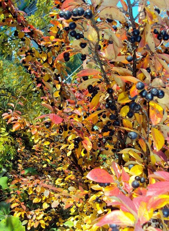 Яркие листья, черные ягодки (2)