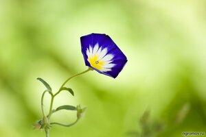Танцующий (цветок)