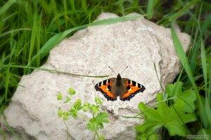 Бабочка на камне (бабочка)