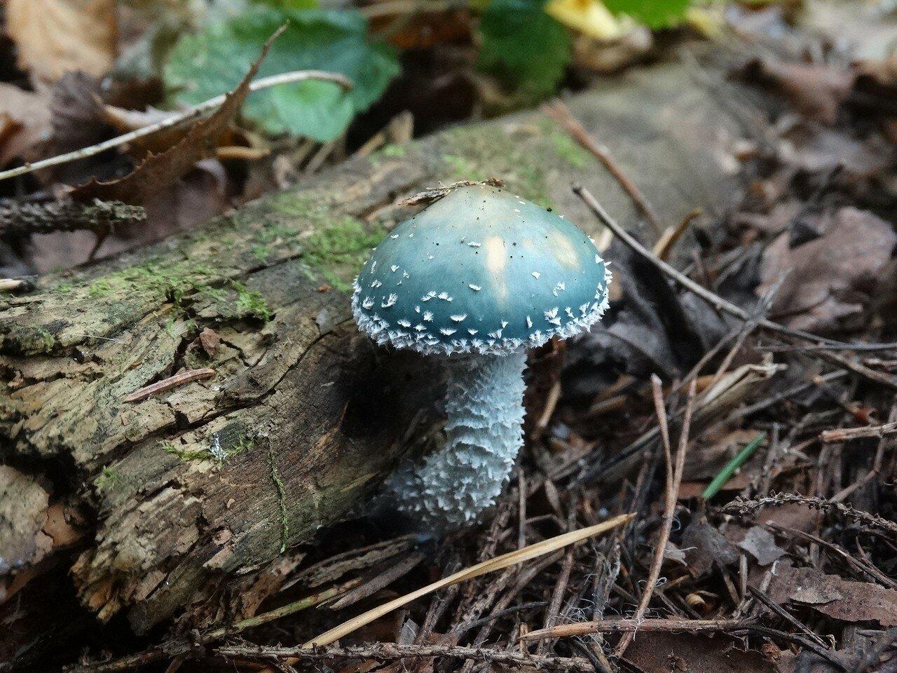 Строфария сине-зелёная (Stropharia aeruginosa) Автор фото: Привалова Марина