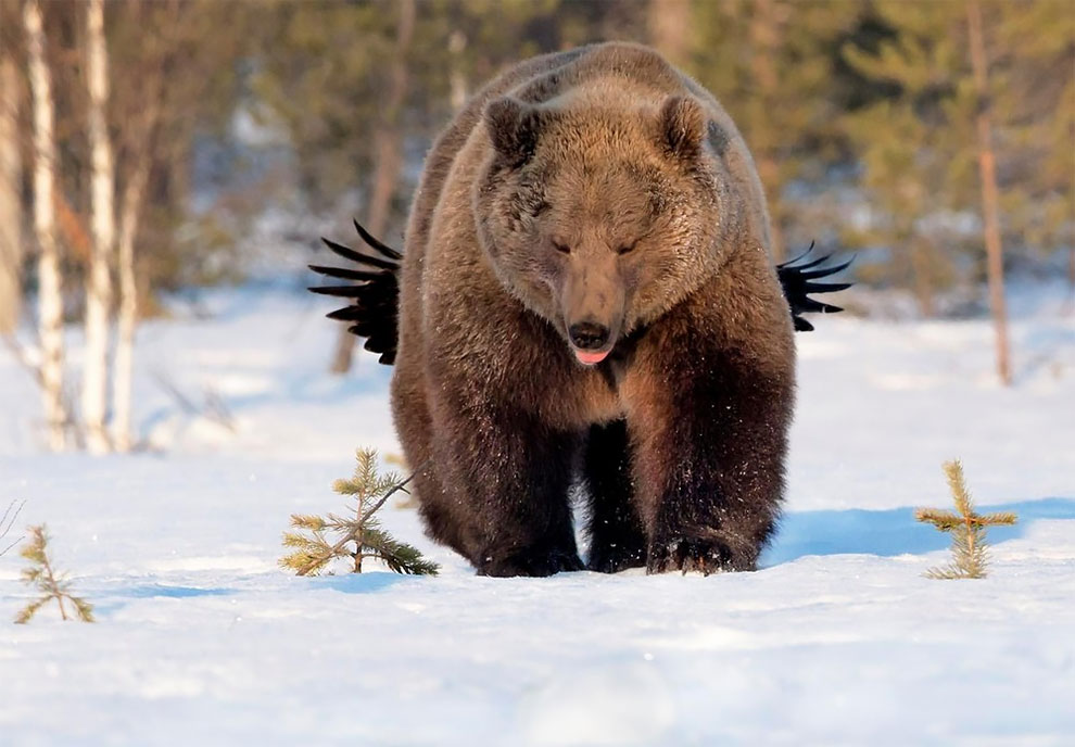 Ворон дразнит медведя, Кухмо, Финляндия. Фото: Esa Ringbom