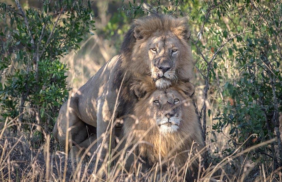Сейчас такие времена, что можно встретить гея-льва