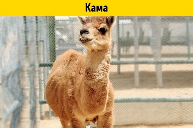 © depositphotos  © wikipedia  Кама (отанглийских «camel» и«lama»)— это смесь одногорб
