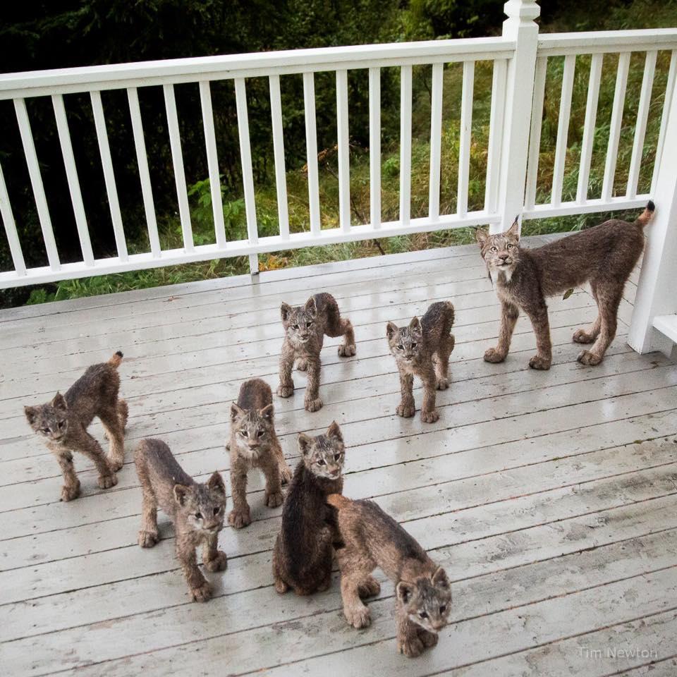 Как дикие рыси появились на веранде жилого дома на Аляске (5 фото)