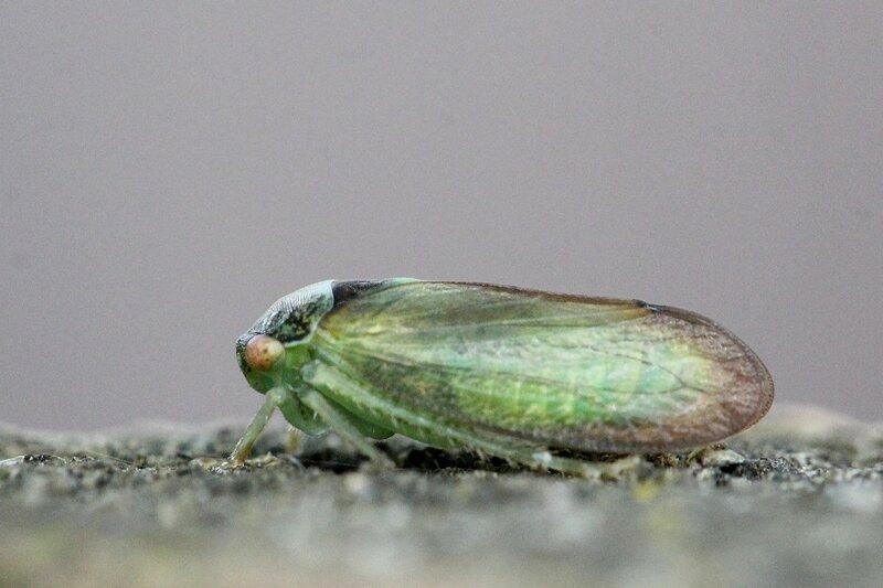 Цикадка (лат. Cicadellidae) - как цикада, только маленькая: широко расставленные глаза, крылья, зубчики на ногах, очень прыгучая