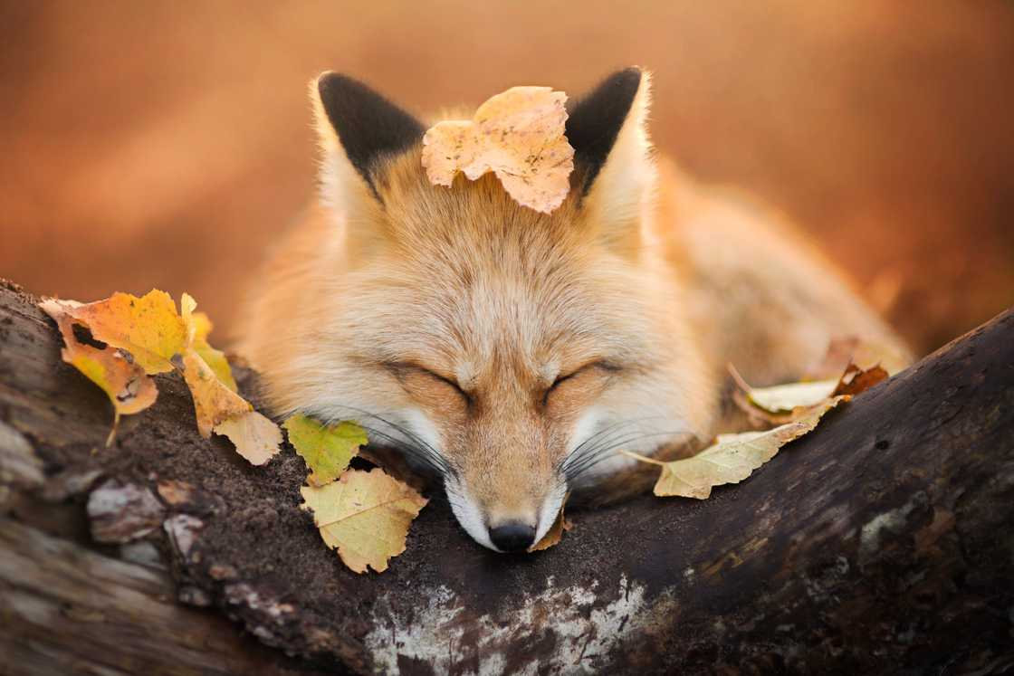 Freya the Fox - Beautiful images by a young 19-year-old photographer