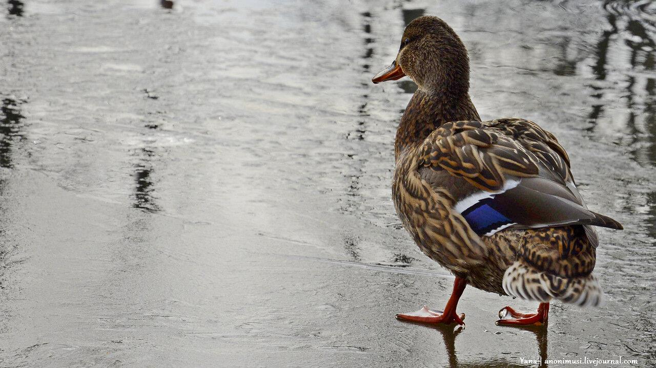 Утки на озере в сквере Фестивальный в Гомеле
