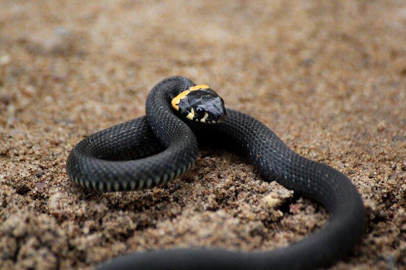 Уж обыкновенный (лат. Natrix natrix) - небольшая черная змея с желтыми «ушами» - пятнами в задней части головы