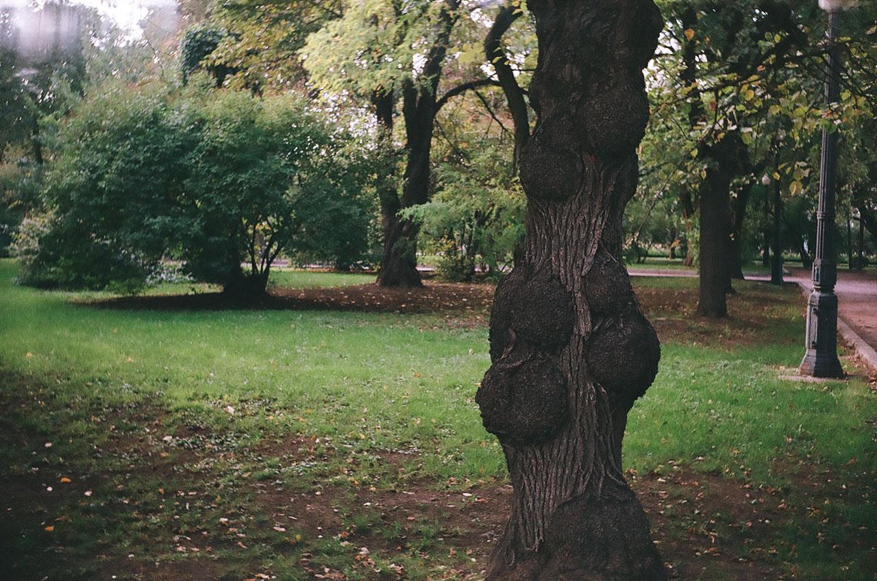 Наросты на дереве в парке Горького. Снято Смена 8м