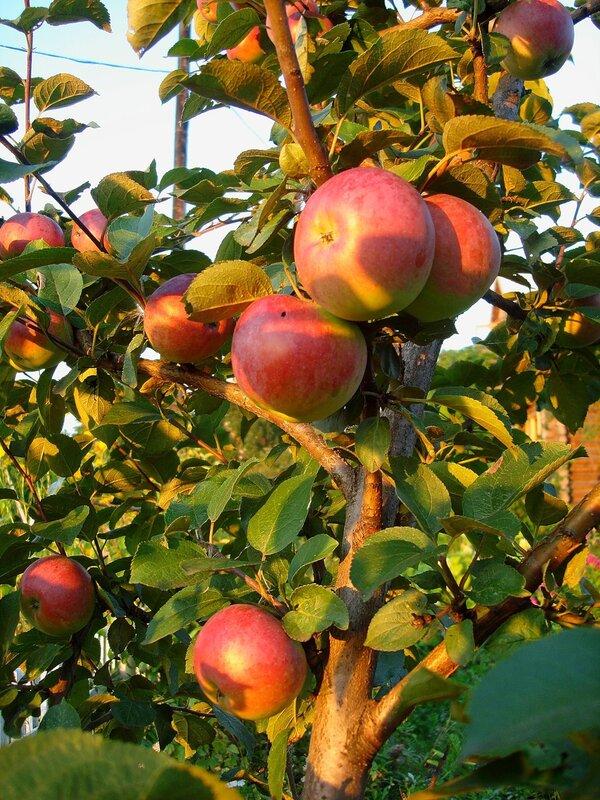 Осень,с.Остров, подворье,райский садик,урожай