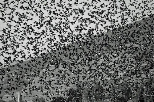 массовый перелет птиц