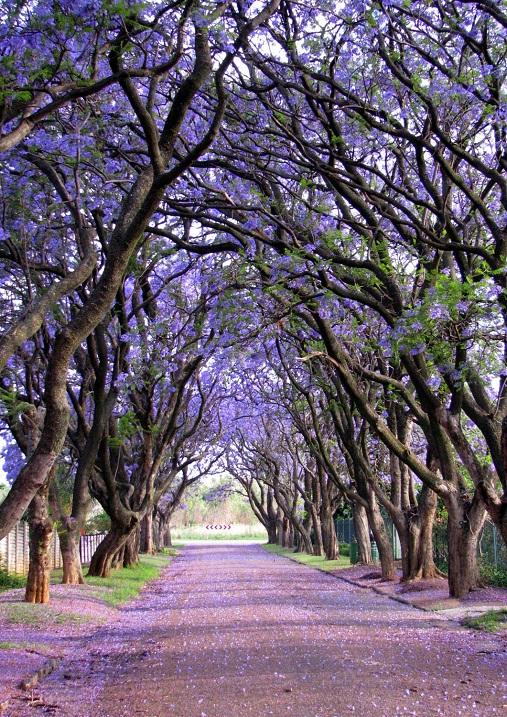 Túnel de los árboles de Jacaranda