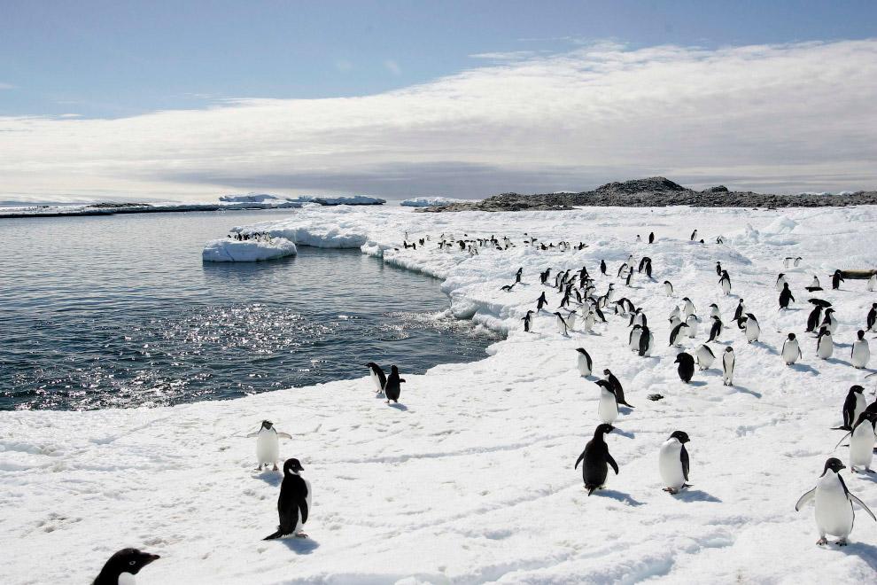 Еще одни местные жители. Тюлени на мысе Денисон в заливе Содружества, Восточная Антарктида, 1 я