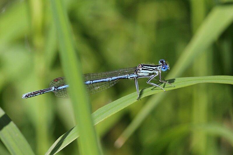 Стрекоза стрелка-девушка (Coenagrion puella), самец голубого цвета с большими выпуклыми глазами на травинке