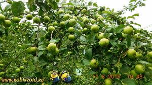 что делать с яблоками?