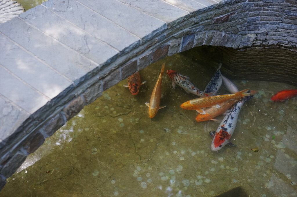 "Культурный центр ""Старый парк"". Карпы кои в пруду."