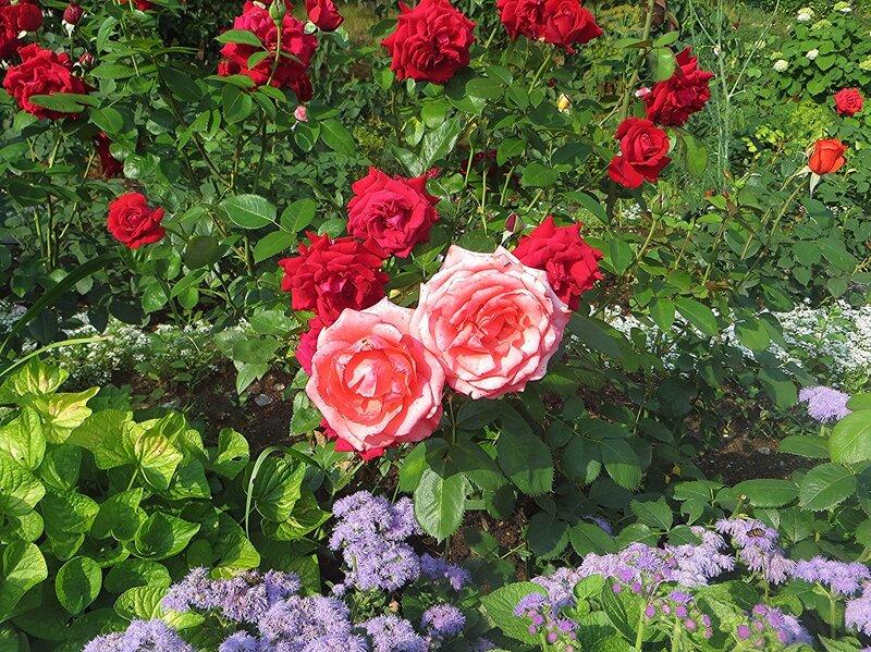 Розы  монастырские