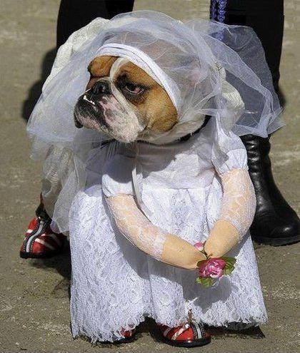 собака в костюме невесты в фате