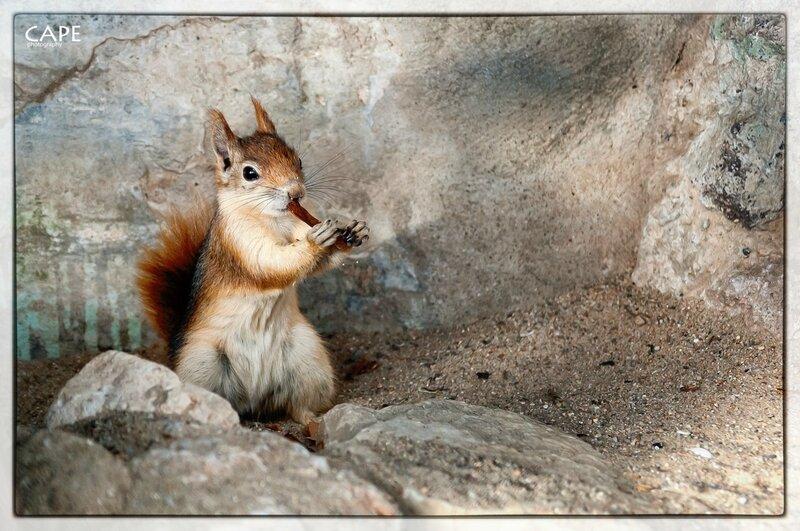 Nikon D300s + Sigma 17-50 mm F2.8 EX DC OS HSM, hand-held. Caucasian squirrel - Kaukasisches Eichhörnchen, Mountain Zoo Halle
