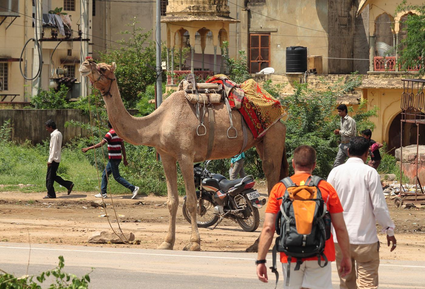 """Фото 20.2 """"Корабль пустыни"""" в Индии. Путешествие по Золотому треугольнику"""