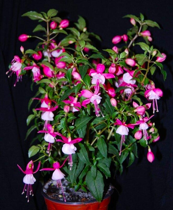 Как цветет цветок фуксия