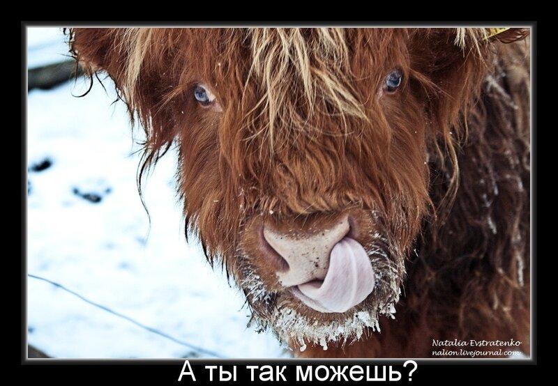 демотиватор, прикол, корова, швеция