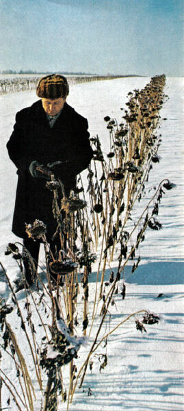 099 На экспериментальном участке вблизи Барнаула. Живая изгородь из подсолнухов помогает снегозадержанию зимой.jpg