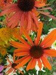 Echinacea  Hot summer.JPG