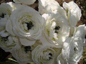 Роза - царица цветов 3 - Страница 5 0_11cfcb_d3e0d74a_M