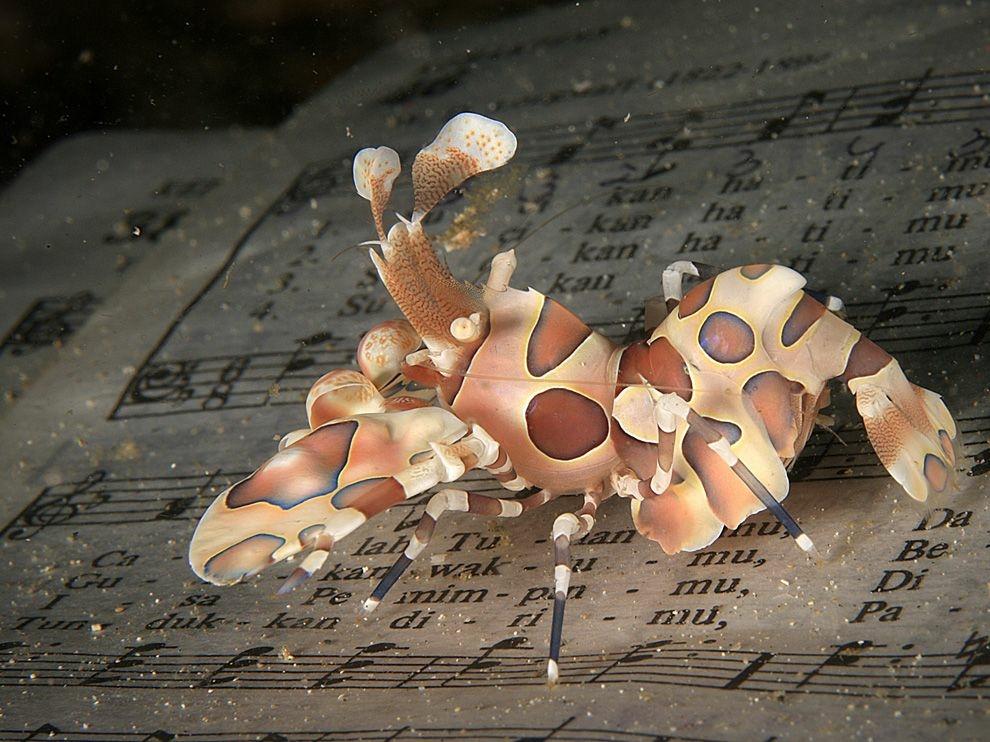 Harlequin Shrimp, Индонезия
