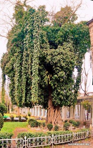 Дерево (Стамбул, Турция)