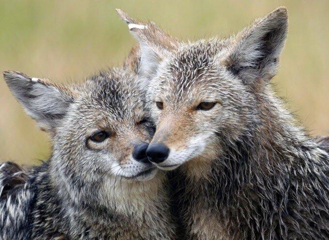 Животным тоже не чужды привязанность, нежность и забота, порой даже несмотря на принадлежность к разным видам. Доказательством тому может служить эта подборка фотографий.