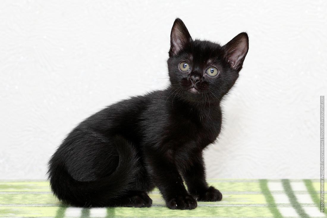 бомбейский котенок питомник