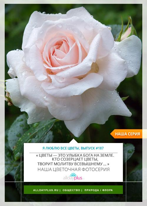 Я люблю все цветы, выпуск 187 | Роза - «Королева цветов».