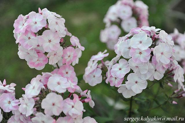 Флокс метельчатый Цветущая Сакура (1).JPG