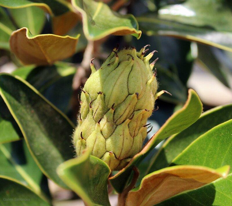 magnolia fruit.jpg