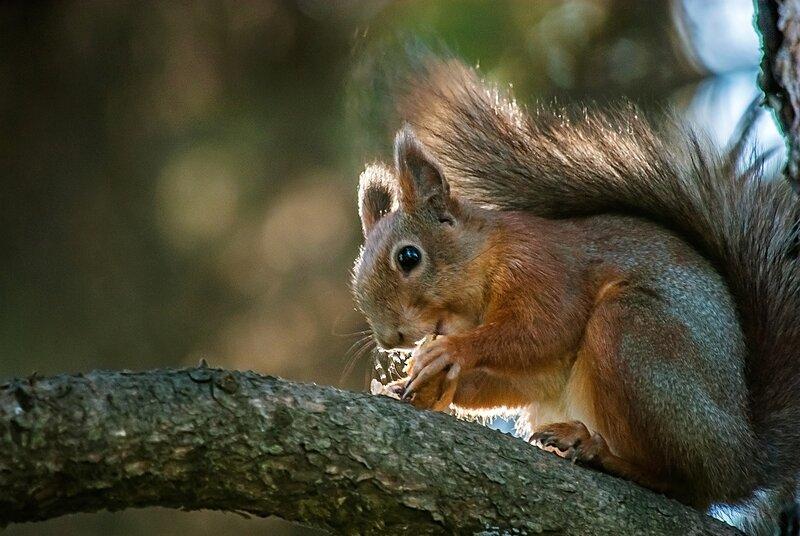 Белка песенки поет ,да орешки всё грызет...