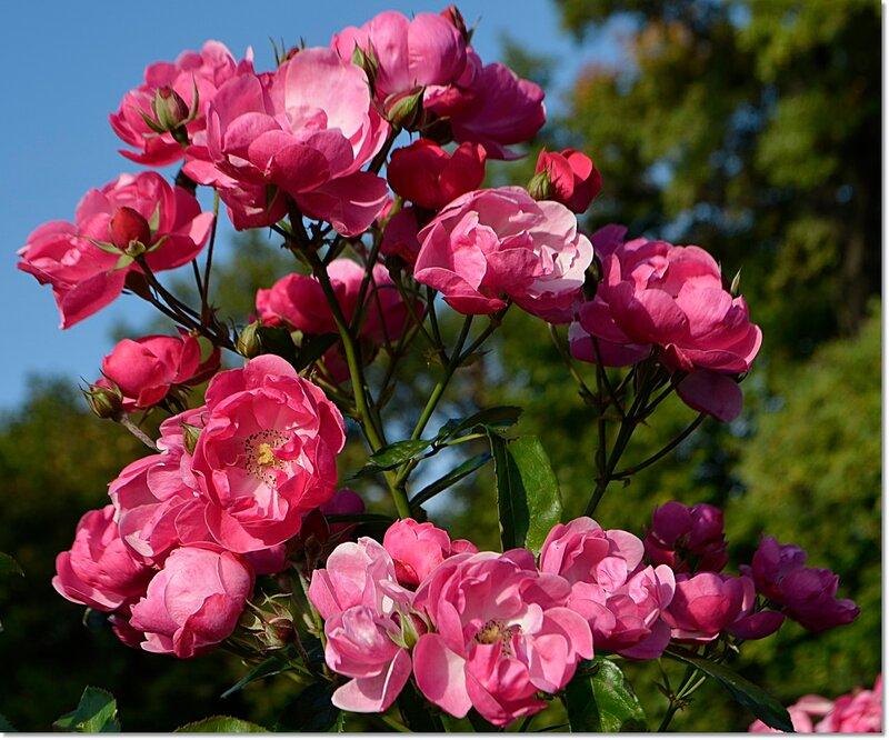 Розовый куст.