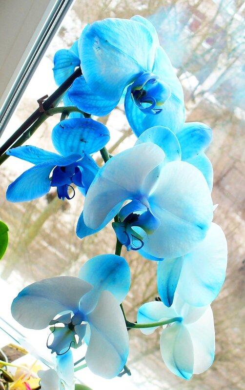 Как ухаживать за королевской орхидеей
